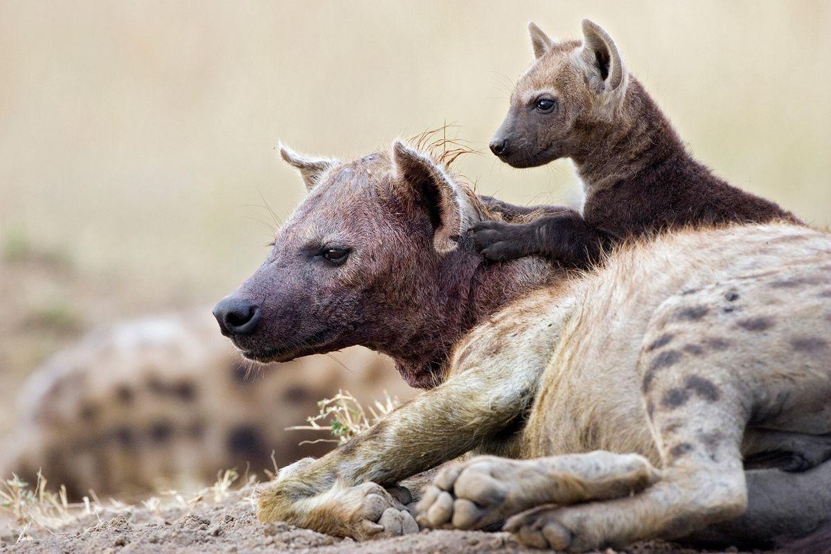 hienas com filhotes
